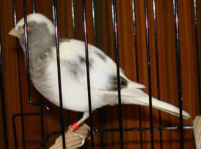 gerald spencer fife canaries
